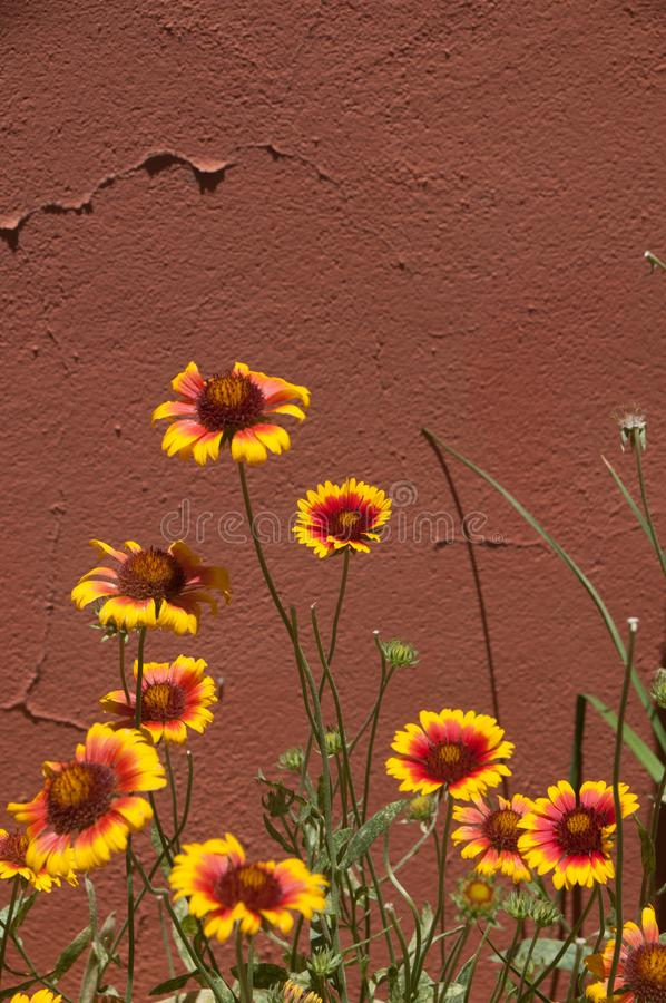 Vertical Indian blanket wildflowers againstadobe wall, Mesilla. NM stock photos
