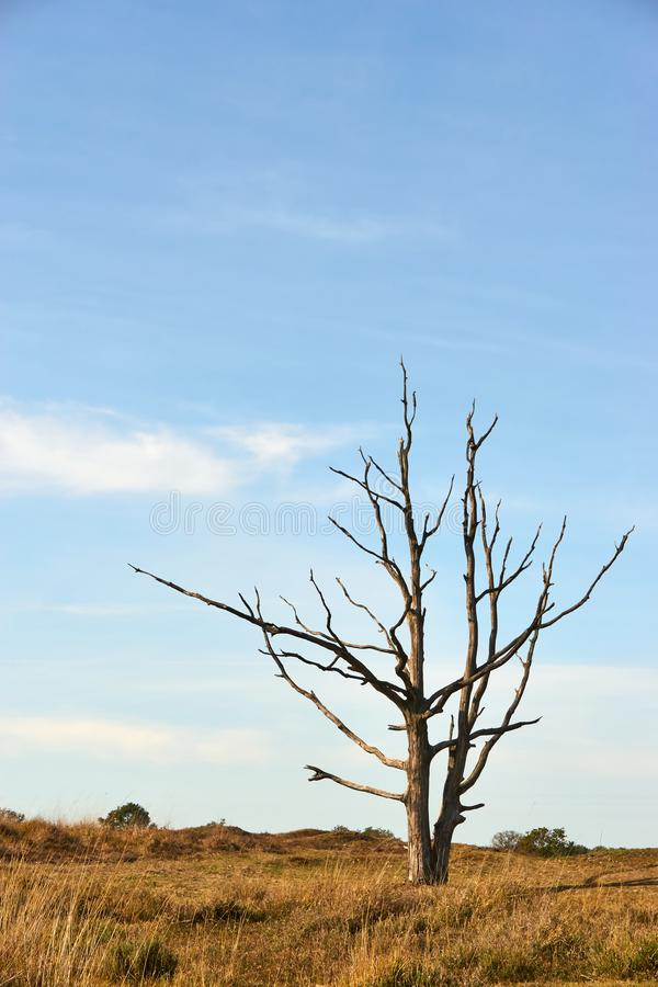 Solitaire dead tree in landscape with a blue sky stock image