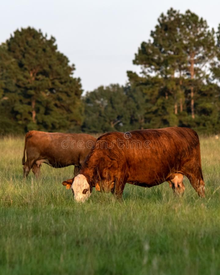 Vertical image of two crossbred cows grazing. Portrait of two crossbred beef cows grazing in tall bermudagrass with pine trees in the background royalty free stock photos