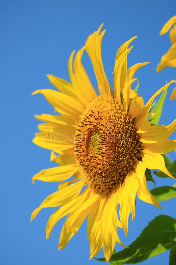 Vertical Image of Vibrant Yellow Sunflower Against Vivid Blue Sky. Beauty in nature agriculture annuus asia background beautiful blooming blossom blurred royalty free stock images