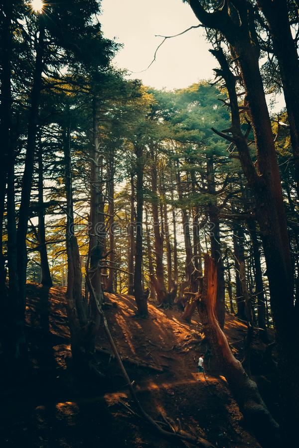 Vertical landscape photo of a walking man in chrea mountain tall pines forest under 2018 october sunlight royalty free stock photo