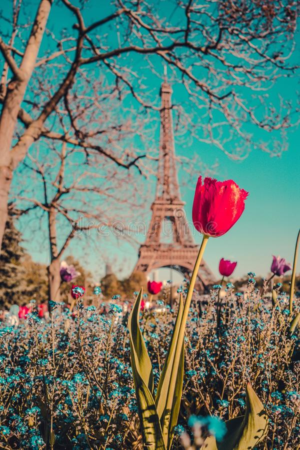 Vertical low angle shot of a beautiful pink tulip with the Eiffel Tower in the background. A vertical low angle shot of a beautiful pink tulip in a field of stock photo
