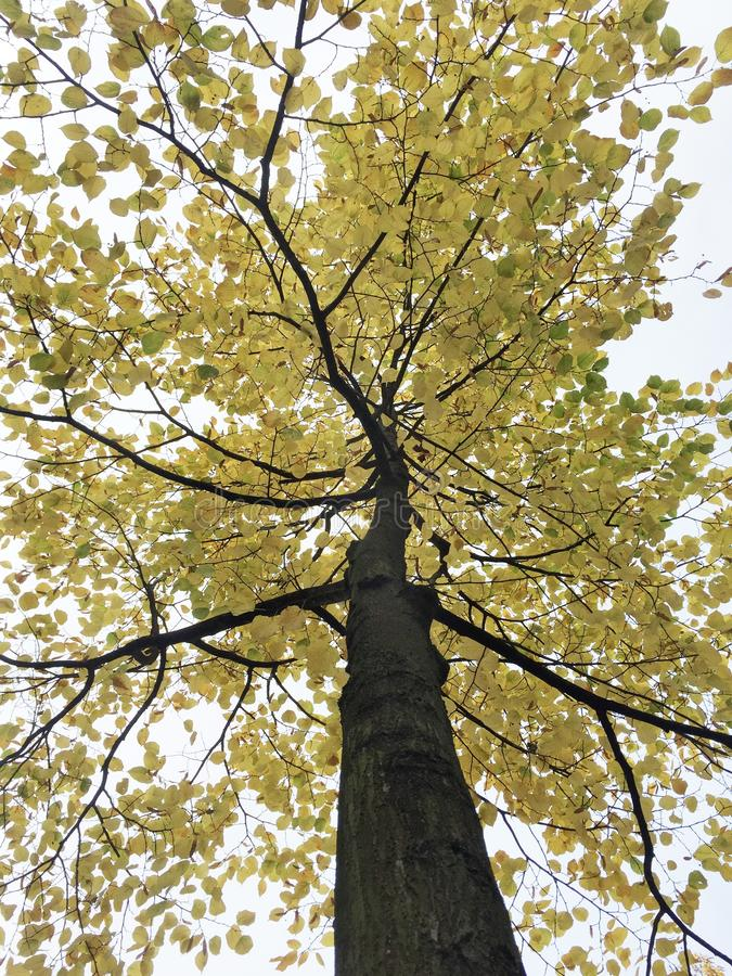 Vertical low angle shot of a beautiful plane tree with yellow leaves on a white background. A vertical low angle shot of a beautiful plane tree with yellow stock photo