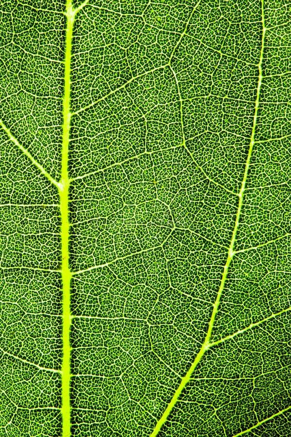 Vertical macra extrema de la foto del primer de la estructura superficial rugosa detallada fresca verde de la hoja fotos de archivo libres de regalías