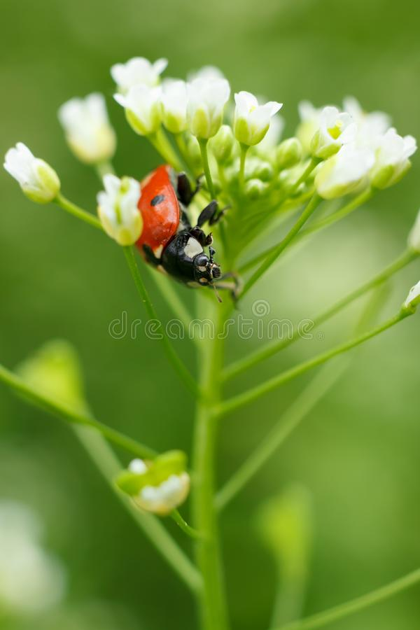 Vertical macro of ladybug on blossoming plant stem royalty free stock image