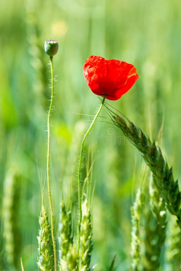 Vertical macro photo of a red poppy flower in a green field among wheat stock photography