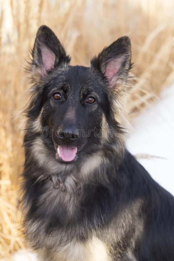 Vertical medium shot of gorgeous long-haired German Shepherd. Staring intently with tongue hanging out against soft focus background of decorative grass and stock photography