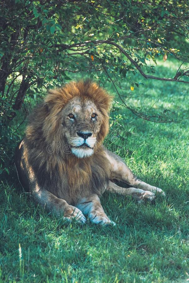 Vertical mid closeup shot of a beautiful wild lion laying on the grass in a forest royalty free stock photos