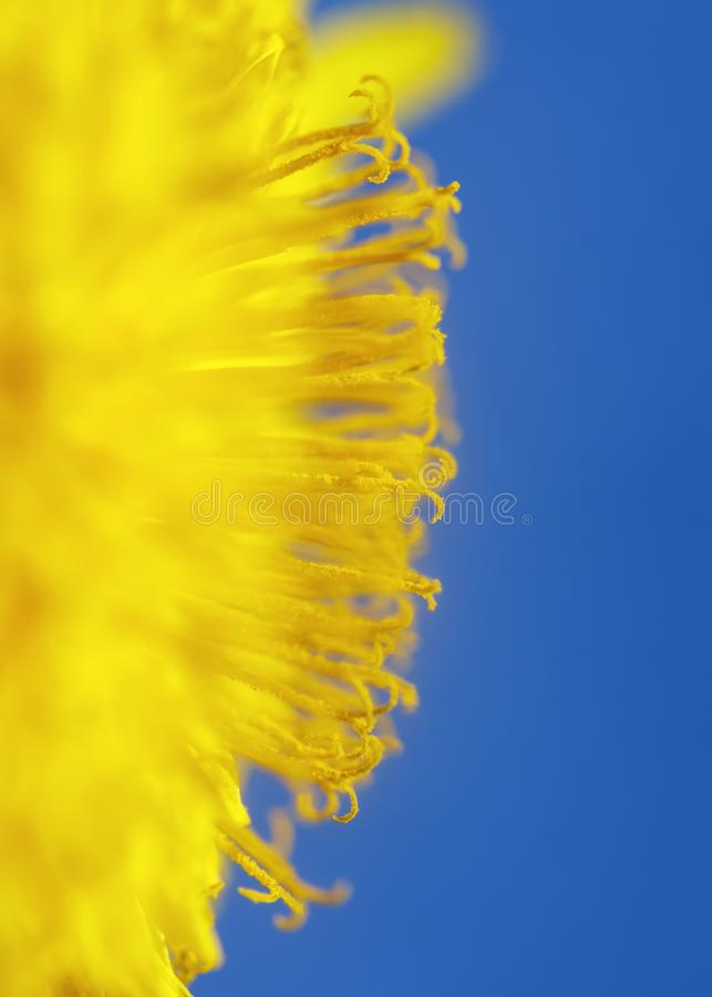 Vertical natural background with bright yellow semicircle sunny dandelion flower close up covered with honey pollen blossomed on a. Vertical natural background royalty free stock images