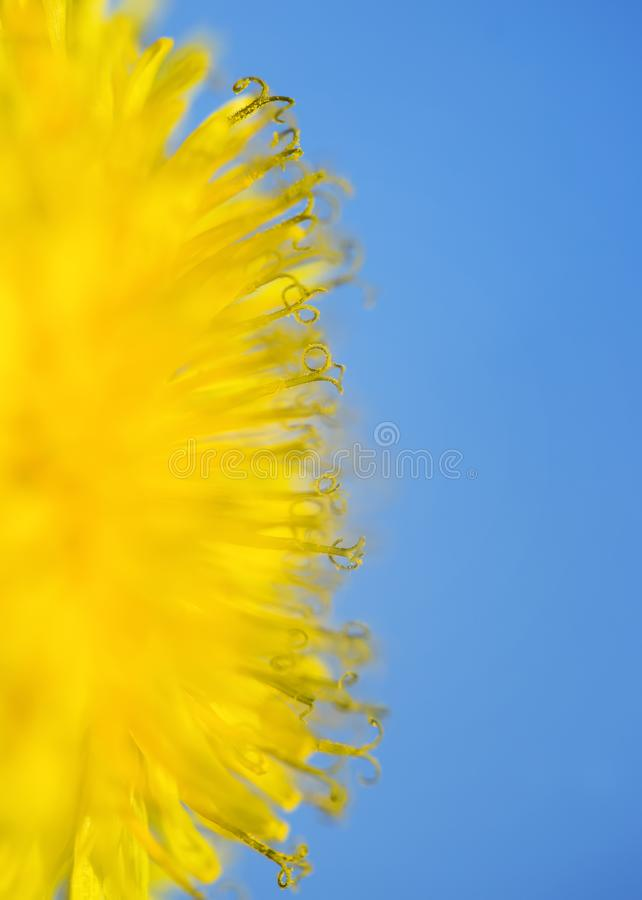 Vertical natural background with a half circle bright yellow spring Sunny dandelion flower close up covered with honey pollen. Vertical natural background with a stock images