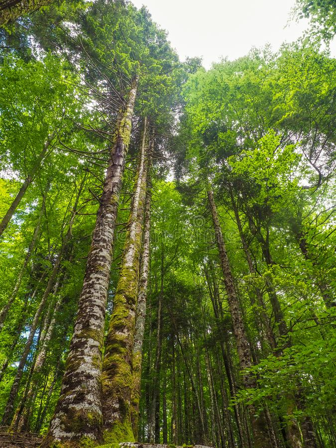 Vertical perspective of a beech forest stock photos
