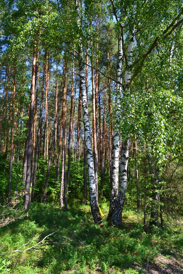 Vertical photo: birch forest in daylight. White birches and green grass. Forest in Belarus royalty free stock photography