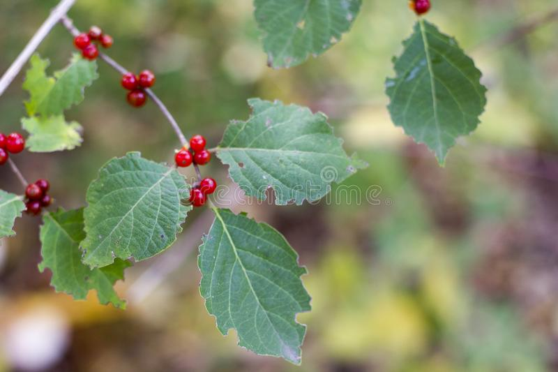 Horizontal photo of bush with green leaves and red berries royalty free stock image