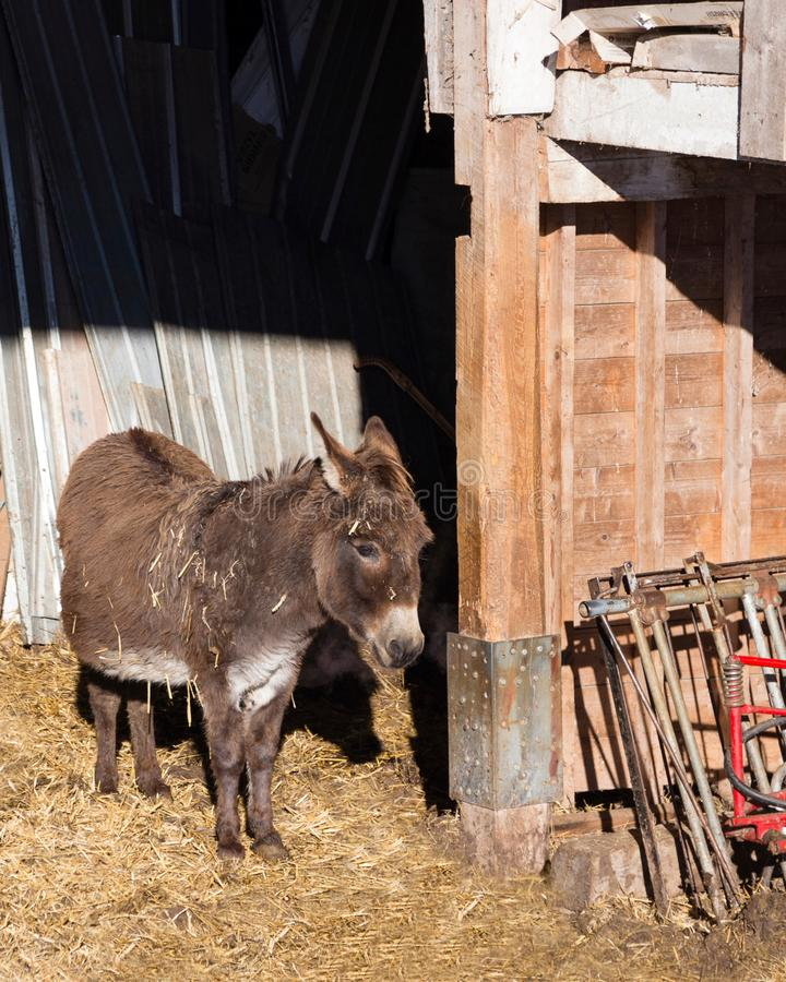 Vertical photo of cute shy pregnant miniature donkey standing in open shed stock photos