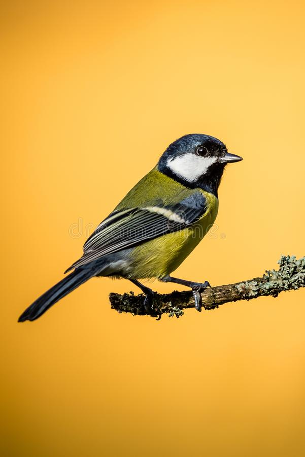Colorful male great-tit sit on dry twig with moss stock photo
