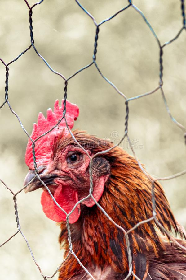 Vertical photo of sad brown hen in chicken cage. Behind fence. Animal abuse, cruelty to animals. Hen cages, battery cage. Chicken stock photography