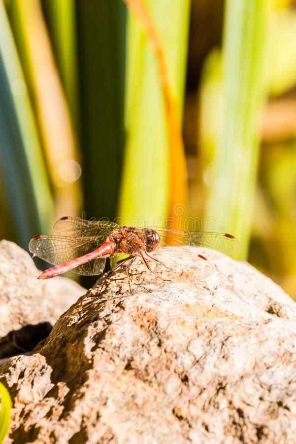 Nice red dragonfly perched on big stone. Vertical photo of single big red dragonfly with big eyes and long transparent wings with red marks. Insect is perched on royalty free stock image