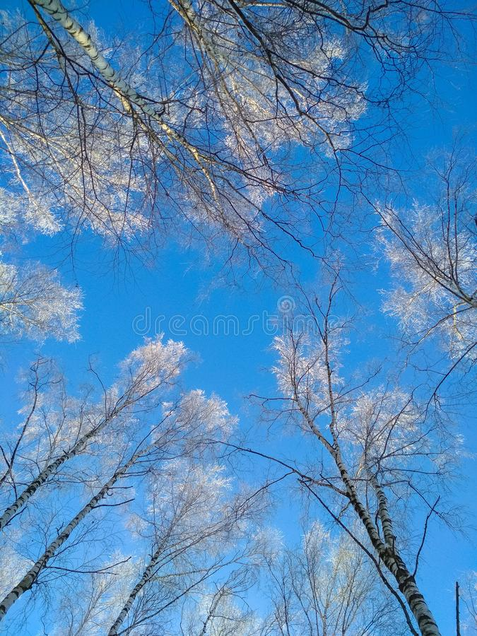 Vertical photo of top of winter trees from low perspective and blue sky in background. Concepts: frost, winter, cold stock photos