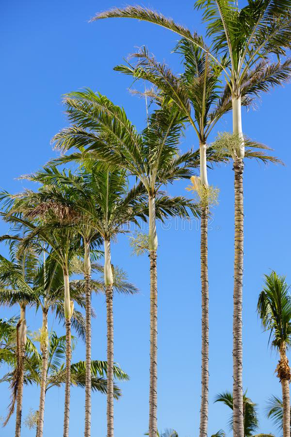 Row of palm trees on a blue sky royalty free stock photo