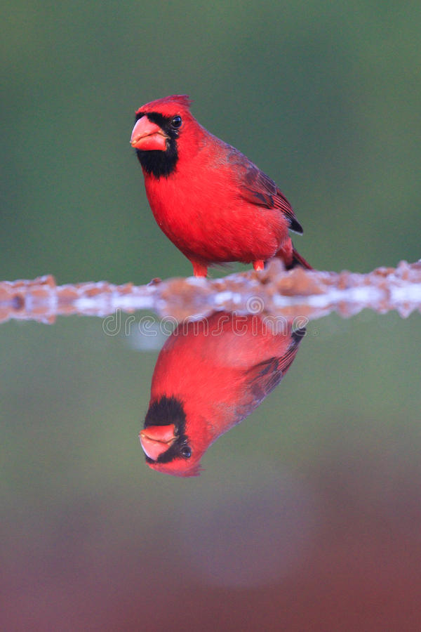 Vertical photograph of red cardinal royalty free stock images