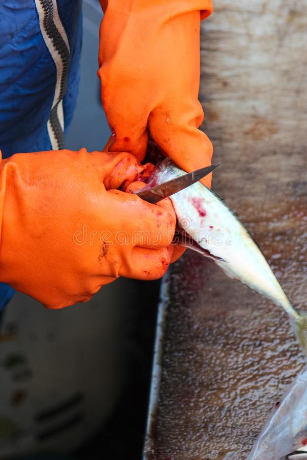 Vertical photography capturing fishmongers hands in orange gloves gutting small fish with a knife. Necessary step by fish. Processing. Photographed on famous stock photos
