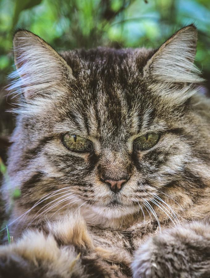 Vertical picture of adorable tabby cat outdoors lying on grass. Cat outside. Close up cat head. Grey cat watching, cats look. royalty free stock photos