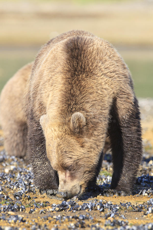 Vertical picture of brown bear clamming royalty free stock photo