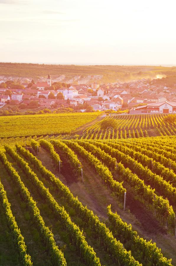 Vertical picture capturing beautiful vineyards near picturesque village Velke Pavlovice in Southern Moravia, Czechia. Photographed in orange sunset light royalty free stock photos