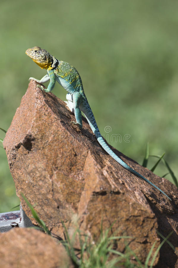 Vertical picture of Eastern Collared Lizard royalty free stock photography