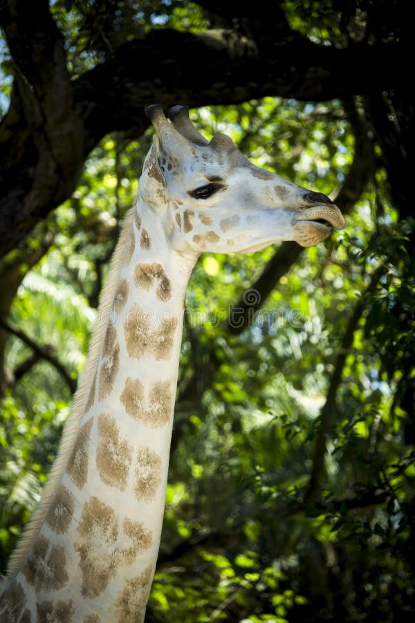 Vertical picture of a giraffe eating at \'Auto Safari Chapín\' in Escuintla, Guatemala. A vertical picture of a giraffe eating at \'Auto Safari Chapín\' in stock photos