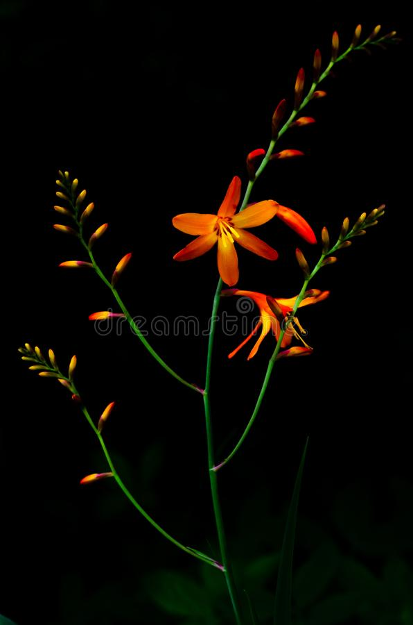 Vertical picture of orange color of Montbretia Crocosmia flowers on dark background stock photography