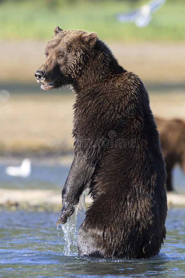 Vertical Picture of side view of brown bear on back legs royalty free stock photography