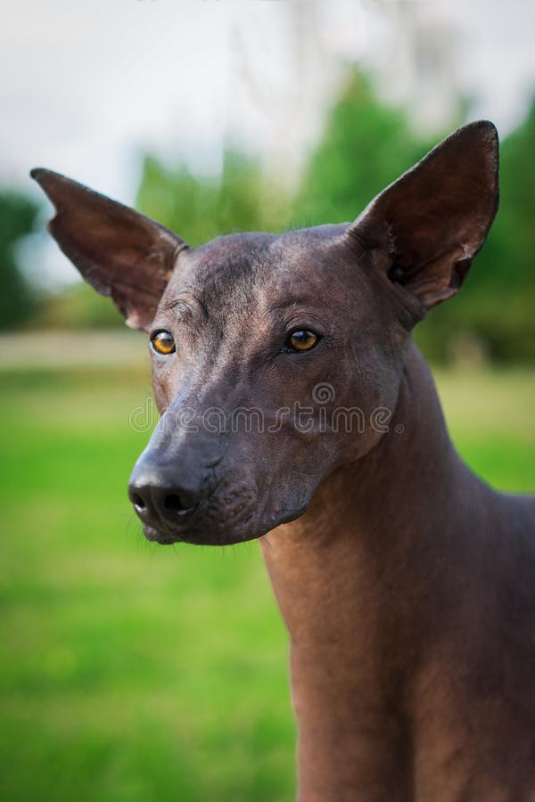 Vertical portrait of one dog of Xoloitzcuintli breed, mexican hairless dog of black color of standart size, standing outdoors on g royalty free stock photo