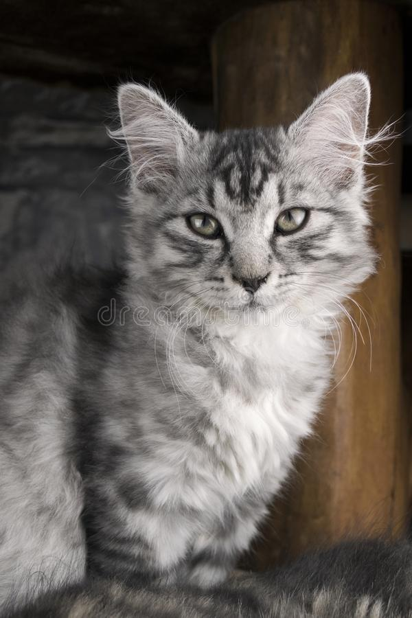 Vertical portrait of young gray cat kitty. Photo of kitten in winter time. Cute and sweet cat kitty posing and looking to came. Ra. Young cat sitting on the flor stock photos