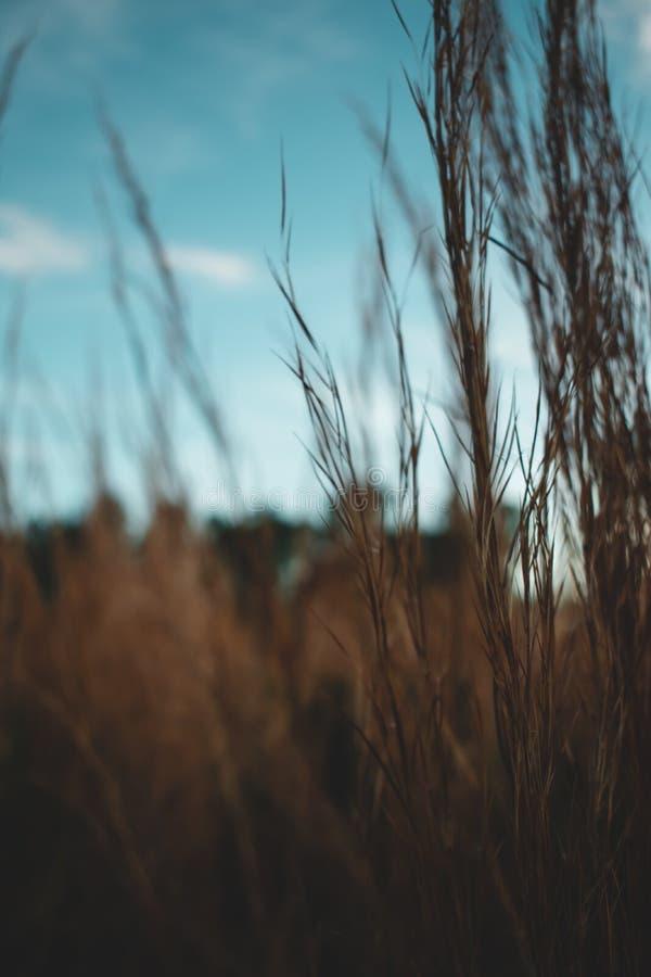 Vertical selective closeup shot of dried grass field. A vertical selective closeup shot of dried grass field stock image