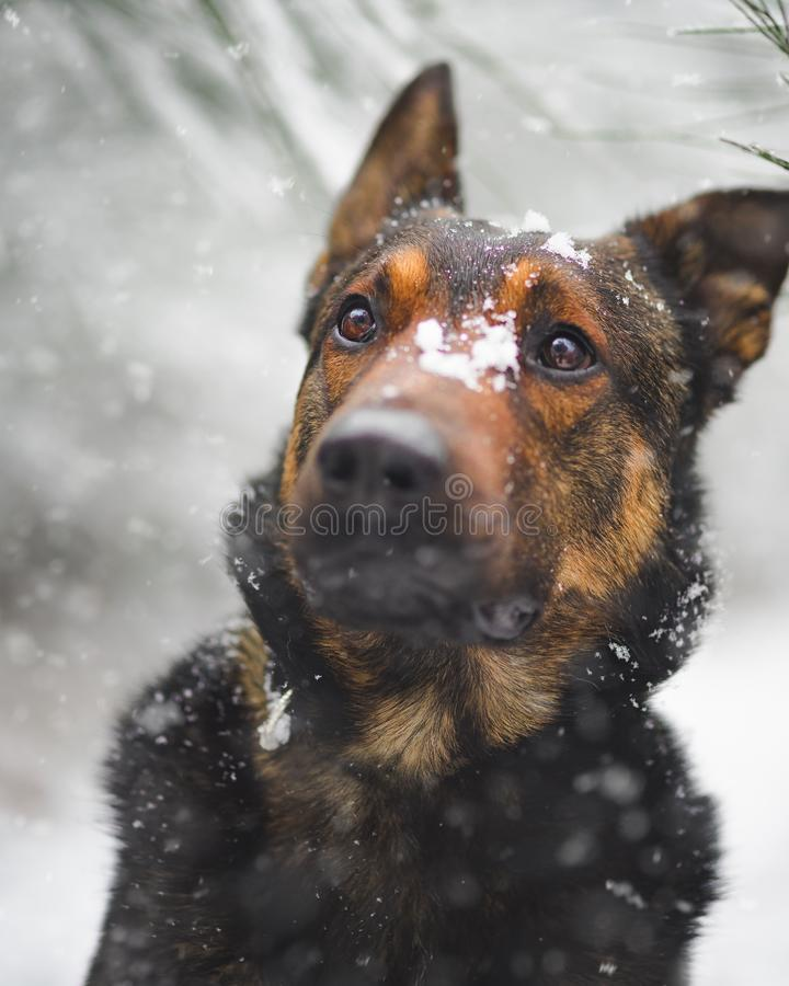 Vertical selective closeup shot of a surprised German shepherd covered in snow particles. A vertical selective closeup shot of a surprised German shepherd royalty free stock images