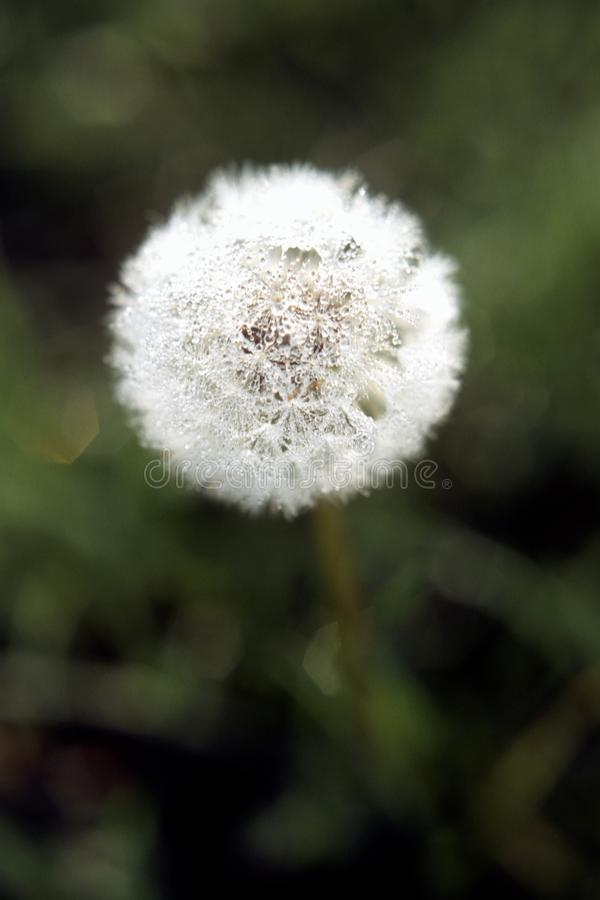 Vertical selective closeup shot of a white common dandelion royalty free stock photo