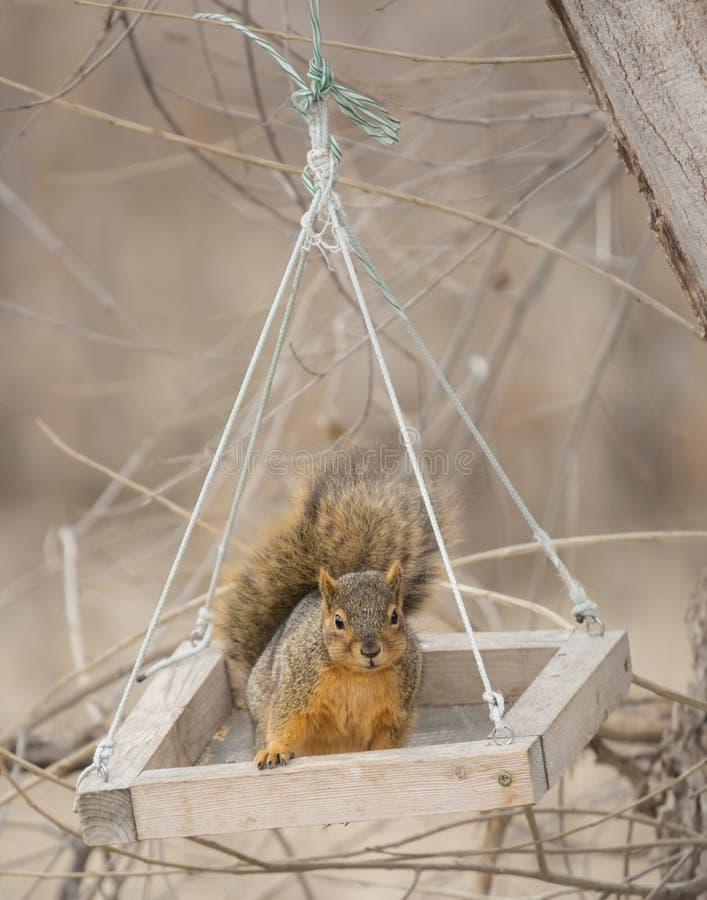 Vertical selective focus shot of a cute fox squirrel swinging in a feeding box. A vertical selective focus shot of a cute fox squirrel swinging in a feeding box royalty free stock photo