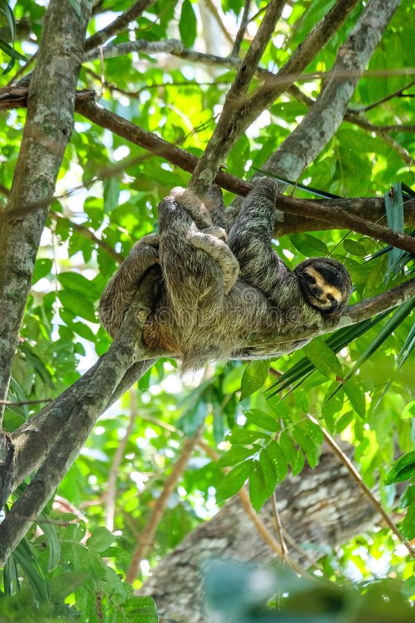 Vertical selective focus shot of a happy three-toed sloth hanging out in the middle of the forest. A vertical selective focus shot of a happy three-toed sloth royalty free stock images