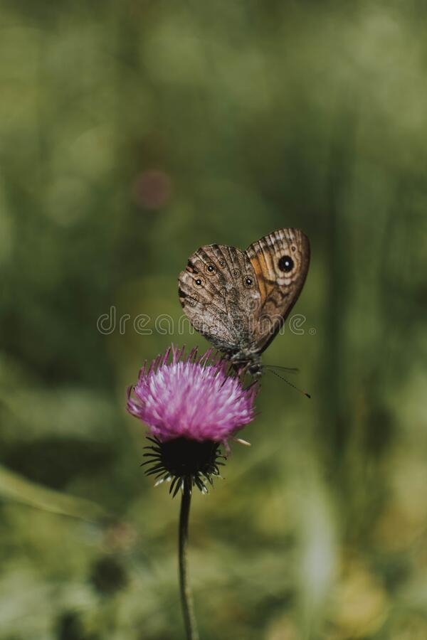 Free Vertical Selective Focus Shot Of A Large Wall Brown Butterfly Perched On A Purple Thistle Flower Stock Photos - 191112723