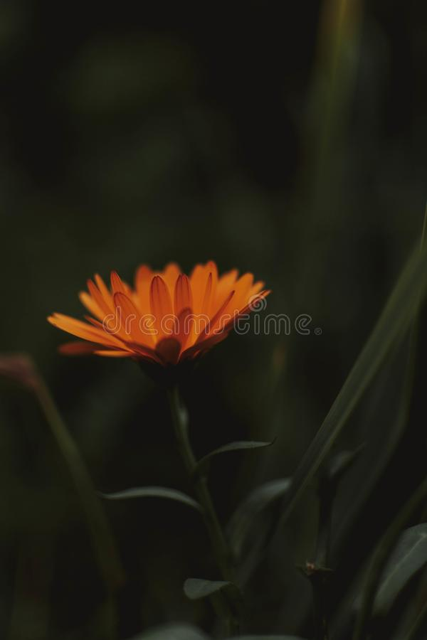 Vertical selective shot of an orange flower with dark green background stock illustration