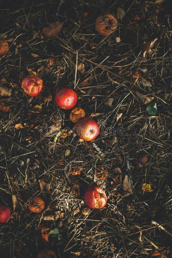 Vertical selective shot of rotten apples on the background of dried grass and leaves stock photo