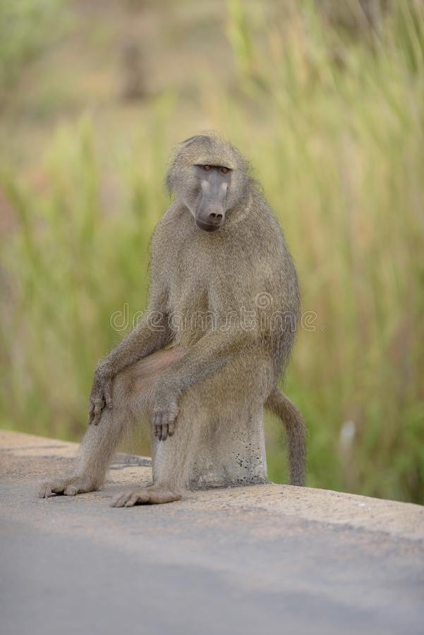 Vertical shot of a baboon sitting on a rock on the side of the road. A vertical shot of a baboon sitting on a rock on the side of the road royalty free stock images