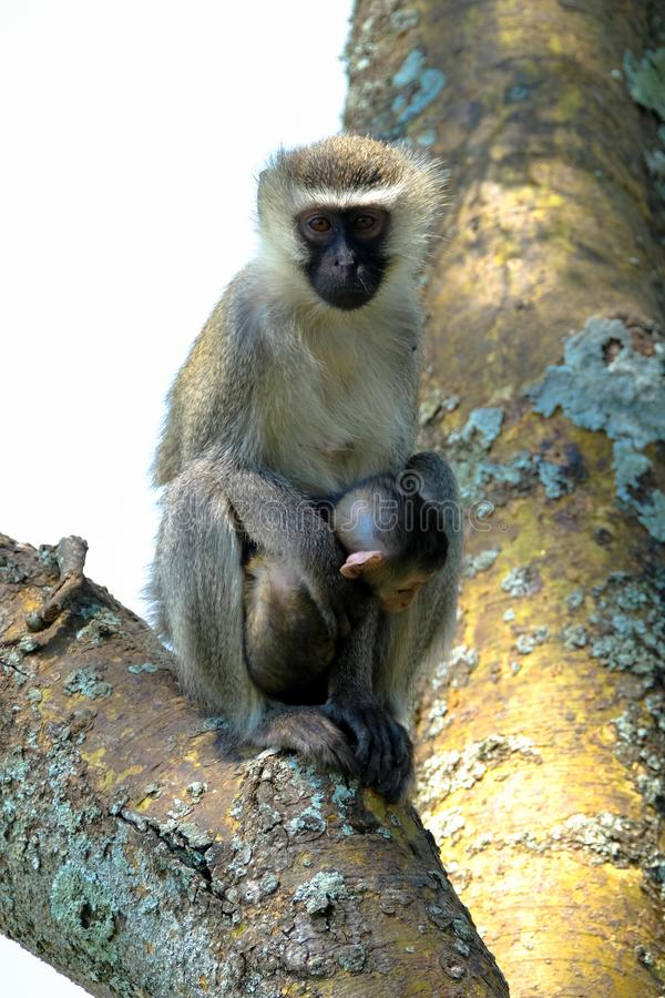Vertical shot of a baby monkey near its mother sitting on a tree with blurred background. A vertical shot of a baby monkey near its mother sitting on a tree with royalty free stock photo