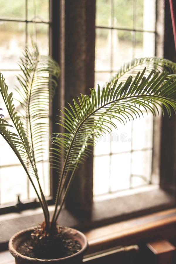 Vertical shot of a beautiful domestic plant in a pot near a window in a house. A vertical shot of a beautiful domestic plant in a pot near a window in a house stock photo