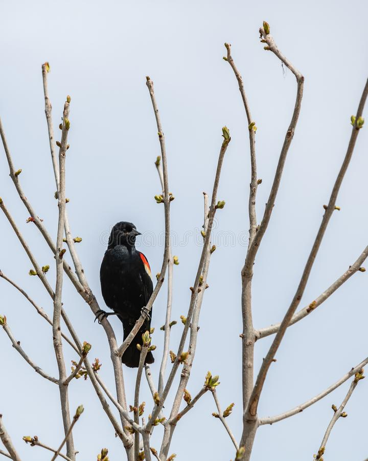 Vertical shot of a beautiful red-winged blackbird sitting on the branches of a small tree stock image