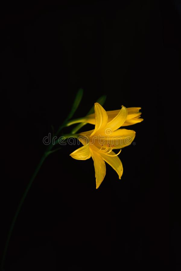 Vertical shot of a beautiful yellow-petaled flower on a black background. A vertical shot of a beautiful yellow-petaled flower on a black background royalty free stock photography