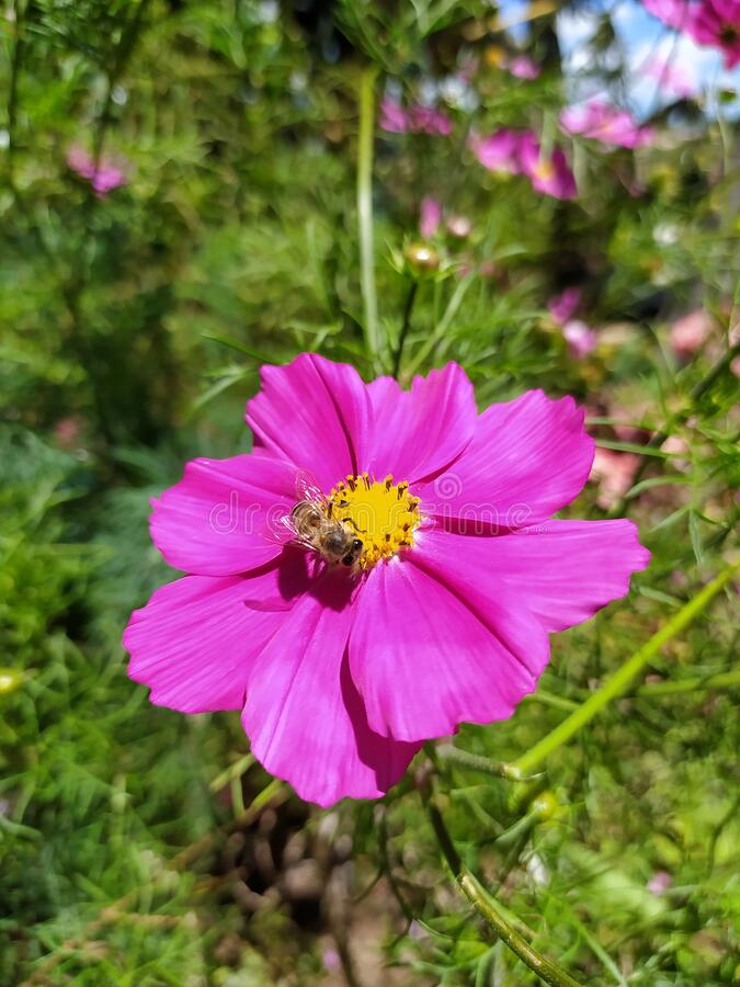 3 069 Cosmos Flower Leaves Photos Free Royalty Free Stock Photos From Dreamstime