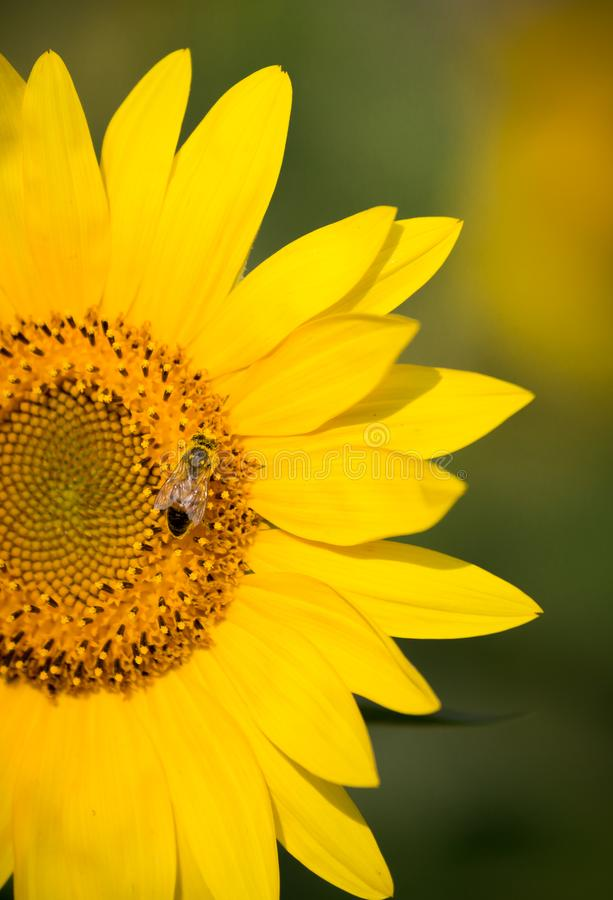 Vertical shot of bright sunflower with bee. Vertical shot of bright, yellow sunflower with bee stock photography