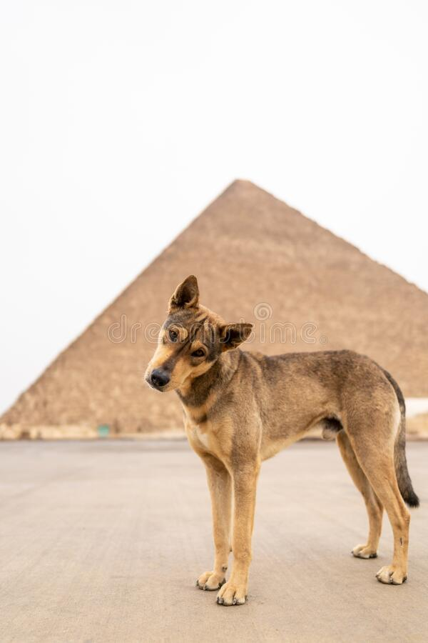 Vertical shot of a brown dog standing in front of the Great Pyramid of Giza located in Egypt. A vertical shot of a brown dog standing in front of the Great royalty free stock photography